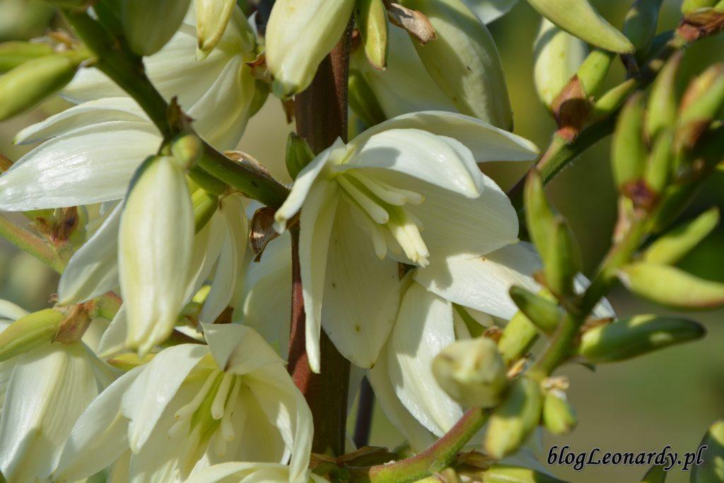 1. juka kwiat