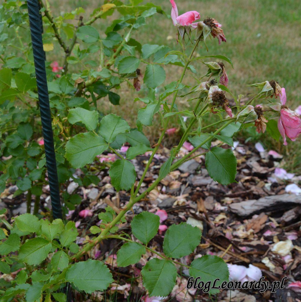 cięcie róz wielokwiatowych