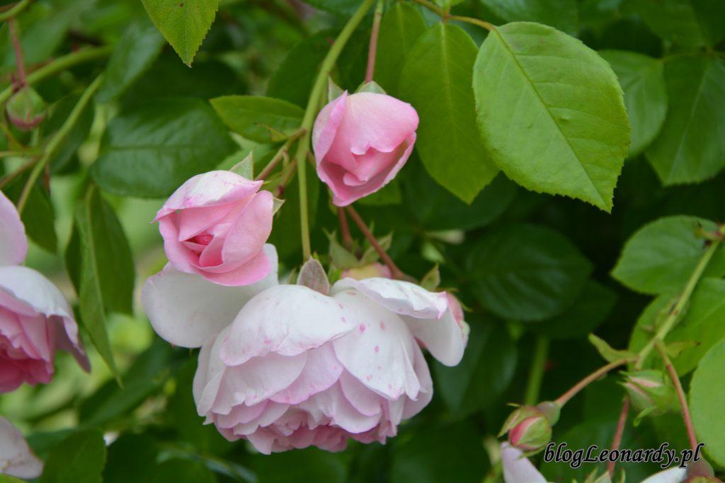 jasmina kwiaty