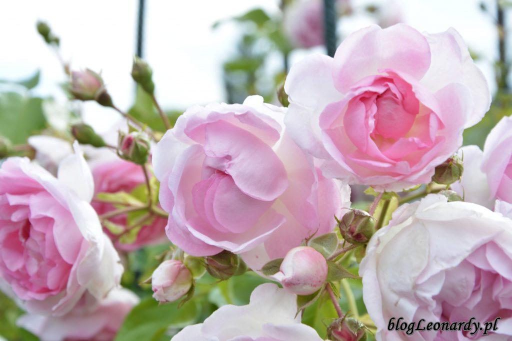 jasmina kwiaty (2)