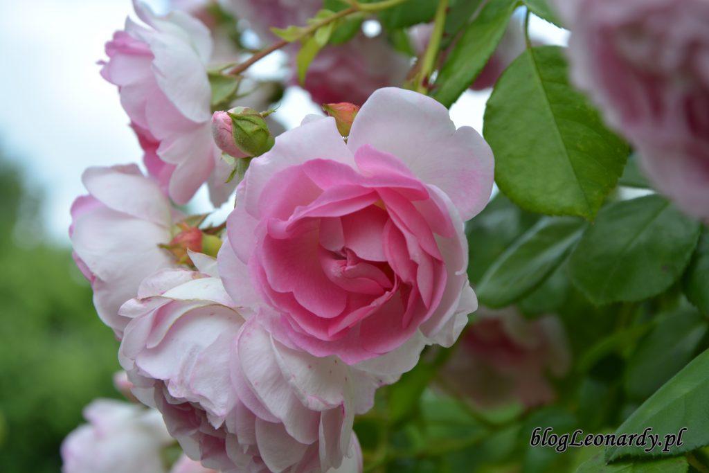 kwiaty róży jasmina