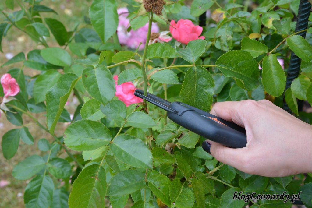 Jak Zadbac O Roze Po Kwitnieniu Jak Przycinac Przekwitle Kwiaty