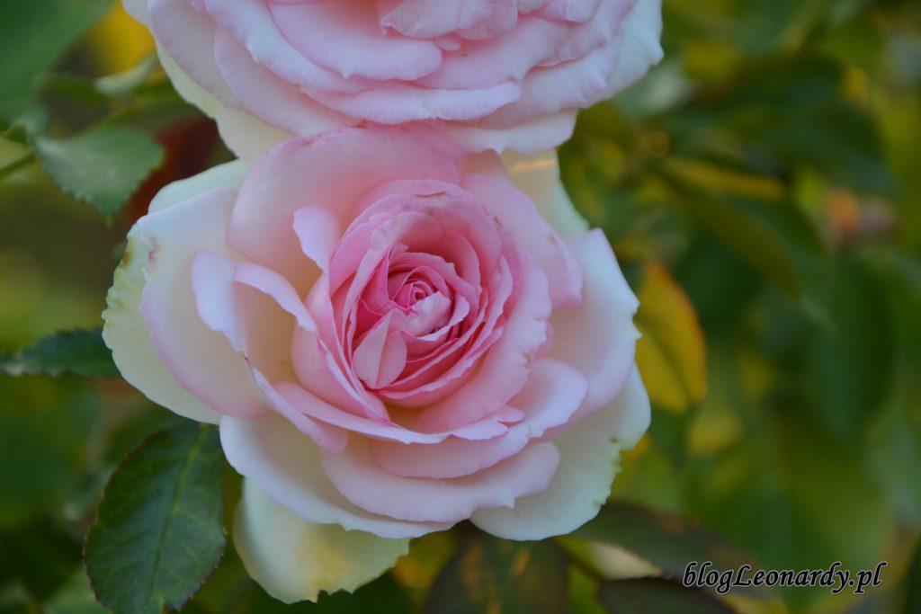 Eden Rose 85 (1)
