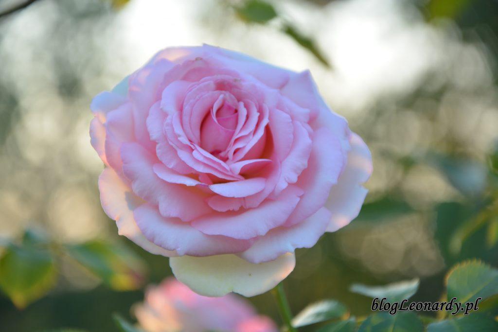 Eden Rose 85