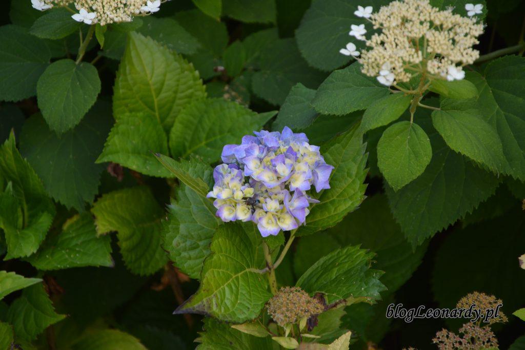 hortensja ogrodowa 1