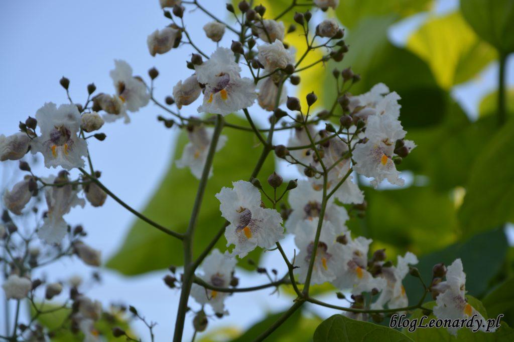 kwiatostan katalpy