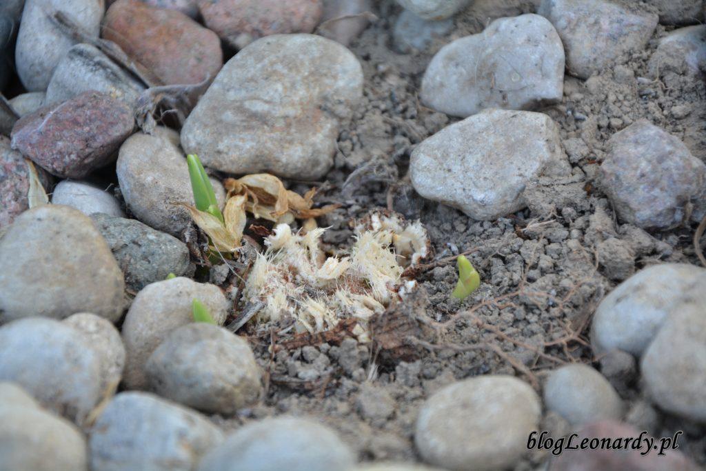 mlode sadzonki jukki
