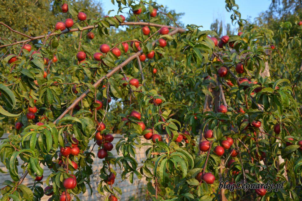 nektaryny