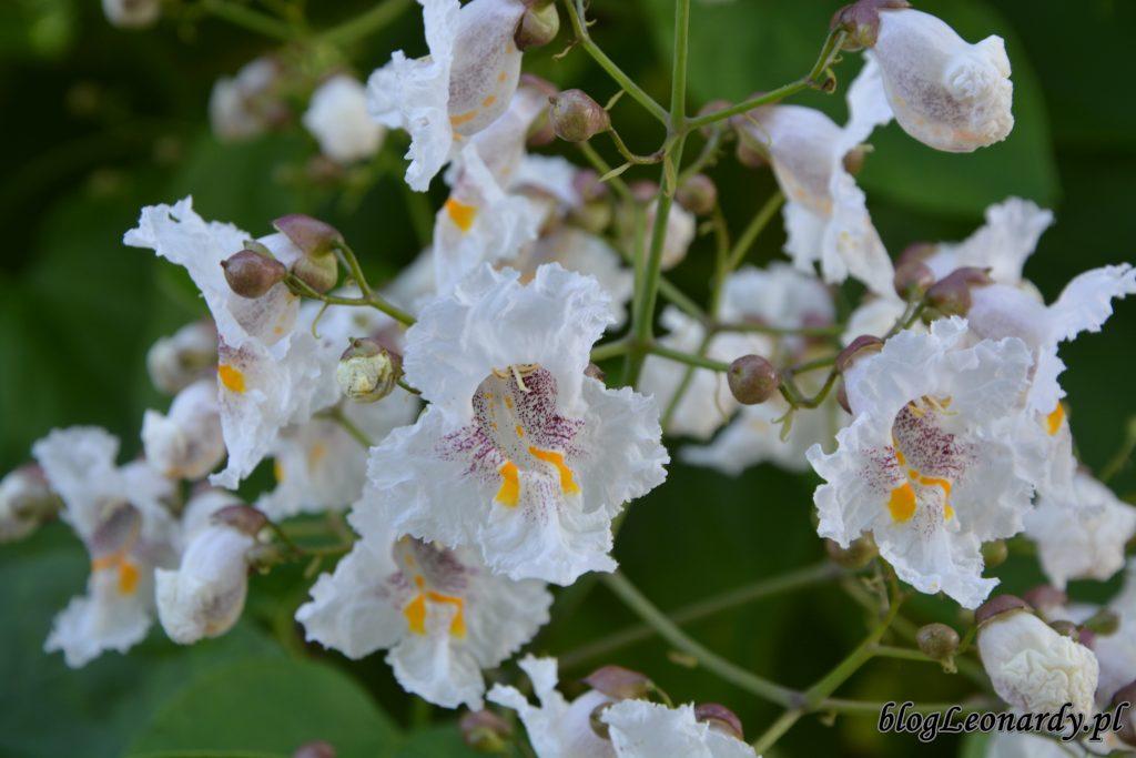 surmia kwiatostan