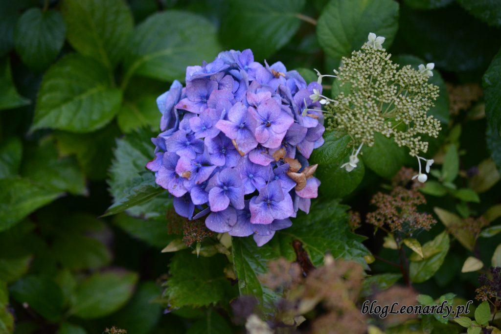 1 hortensja ogrodowa