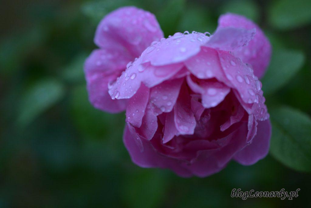 1 róża