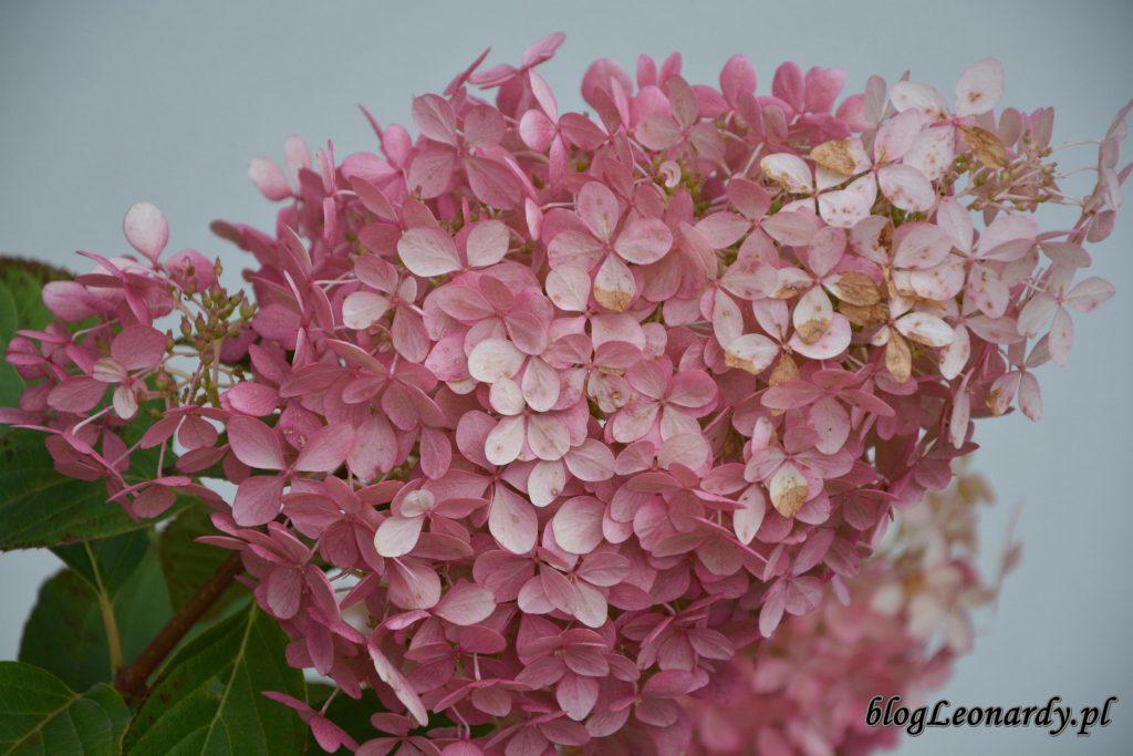 gigantyczny kwiatostan hortensji phantom