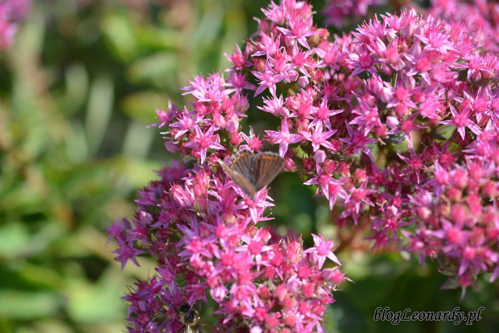 motyl 1 rozchodnik