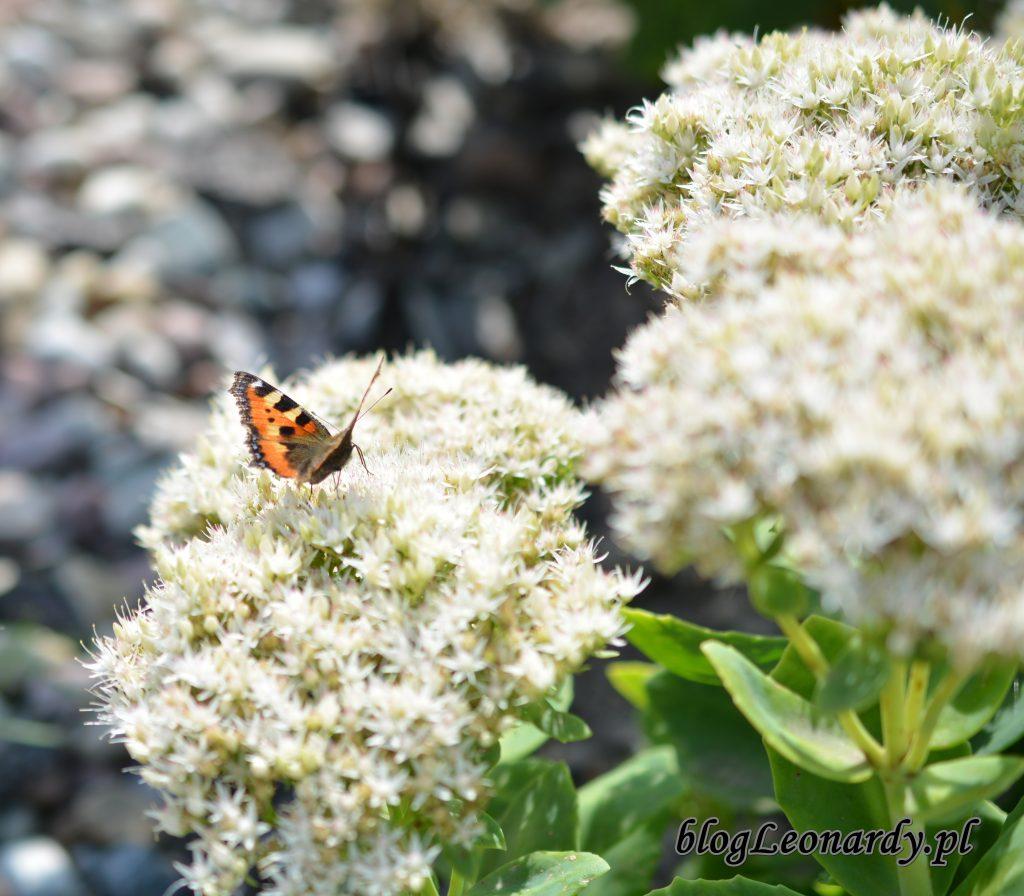 motyl 2 rozchodnik