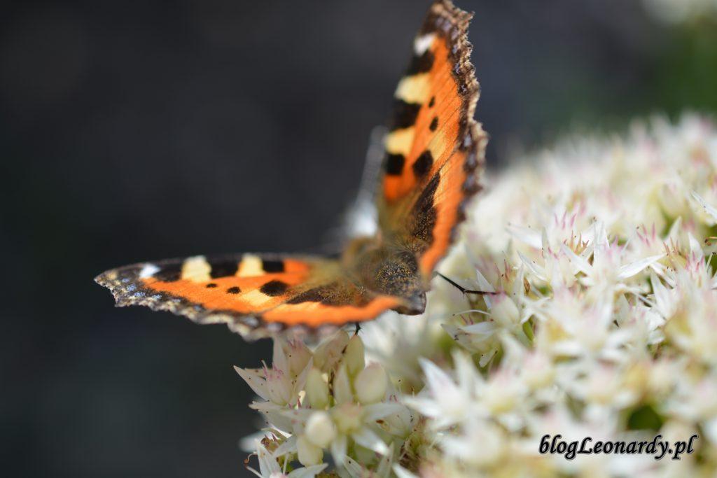 motyl 3 rozchodnik