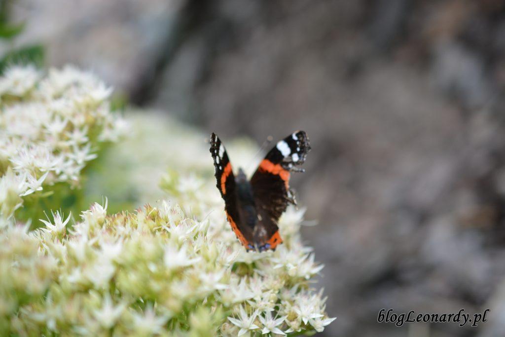 motyle 2