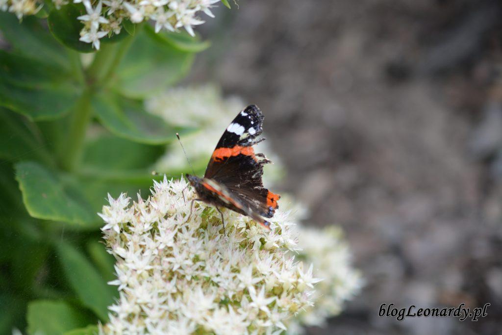 motyle 3