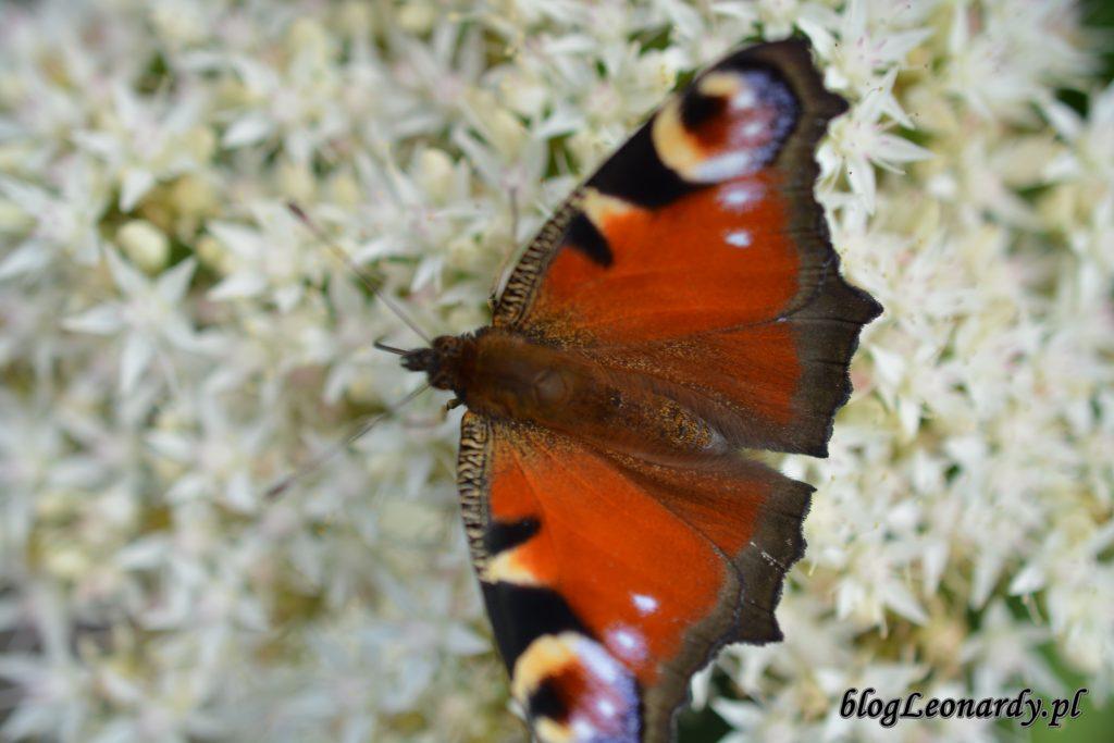 motyle 4
