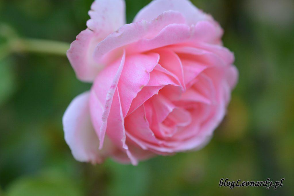 róża eden rose 87