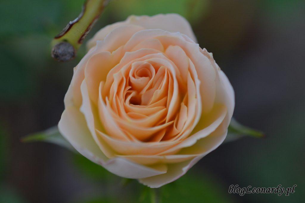 róża pastella