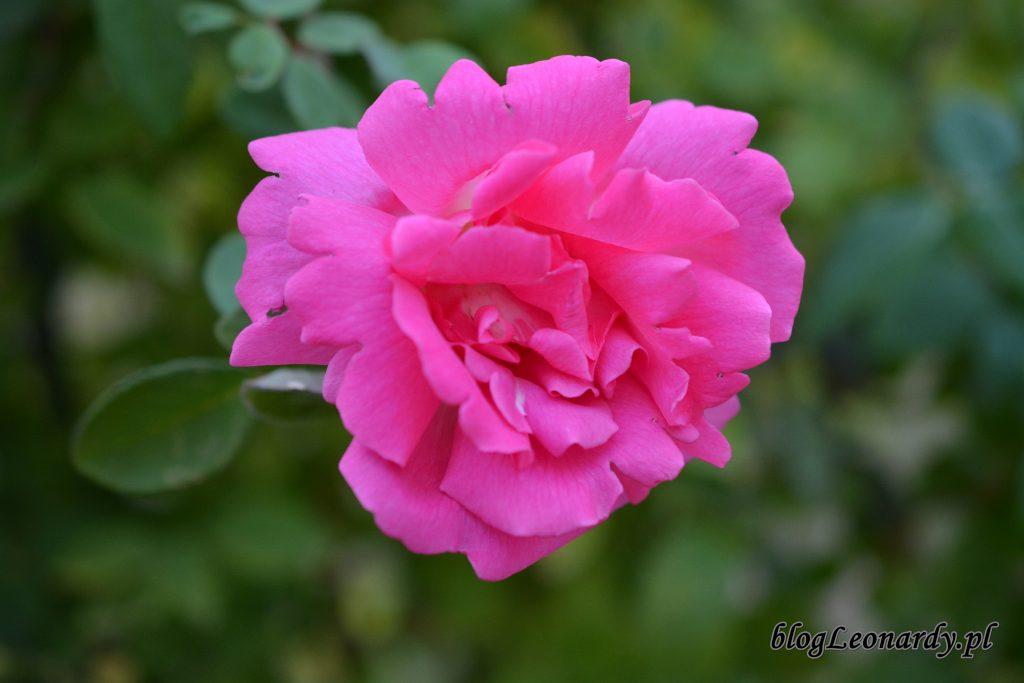 róża zephirine drouhin