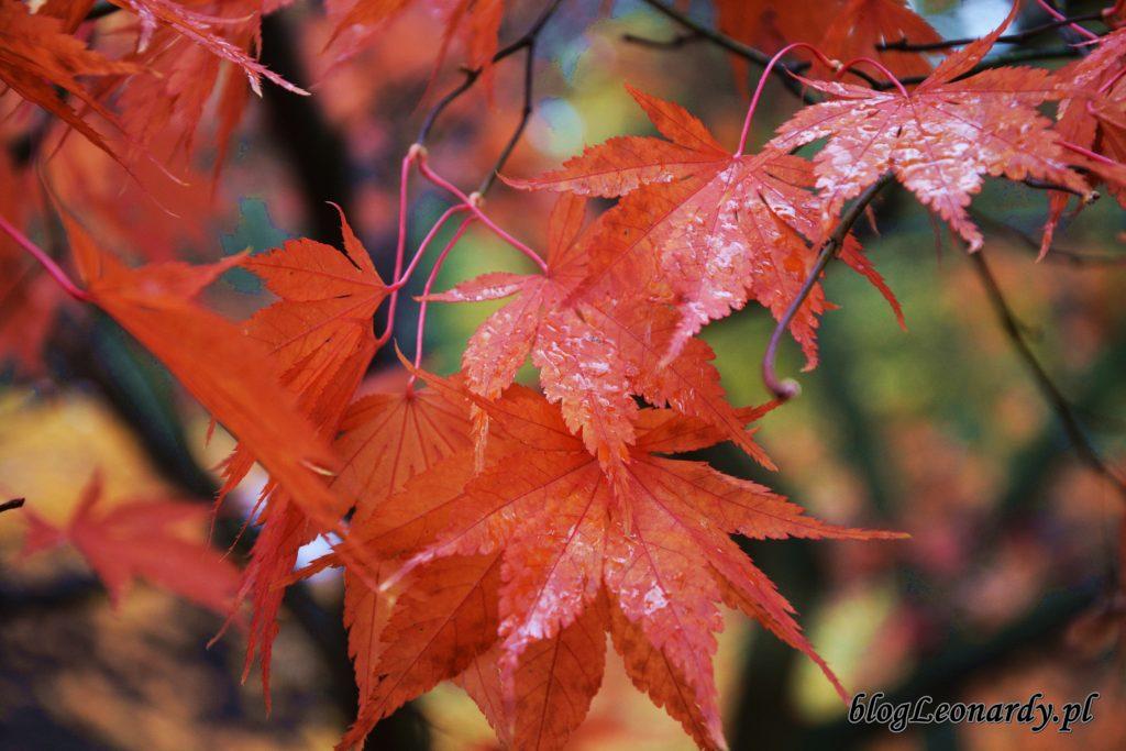 klon liście