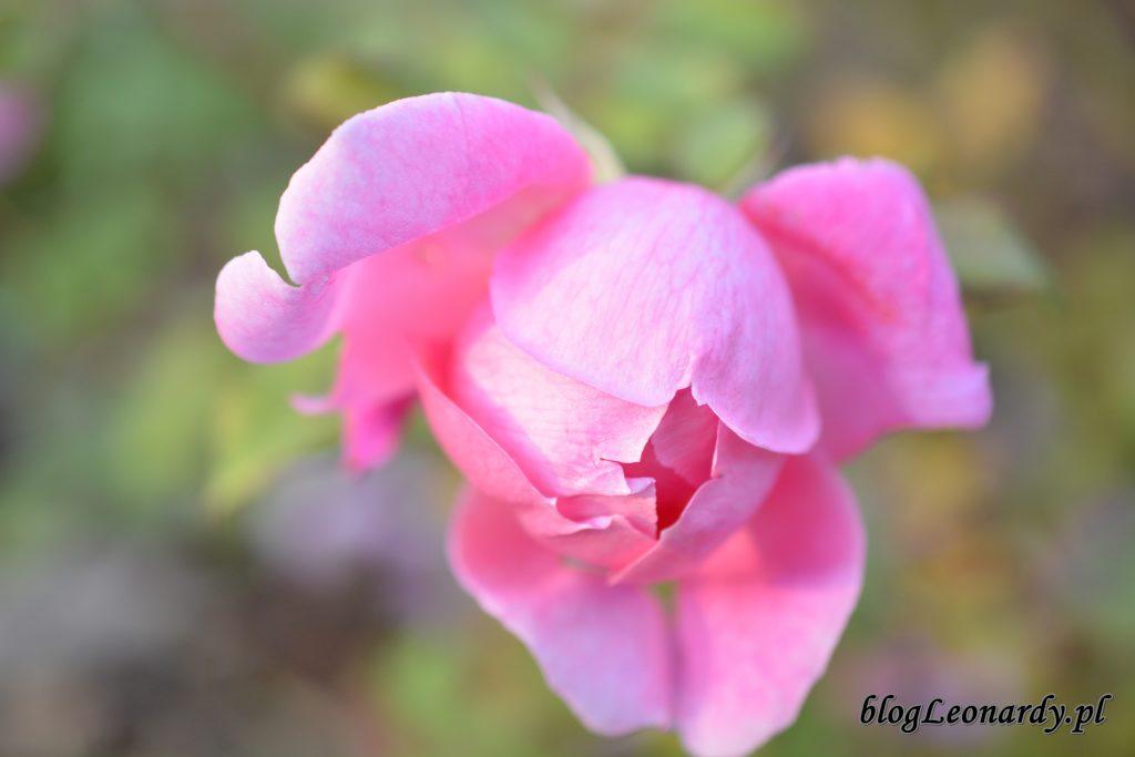 róża alan titchmarsh