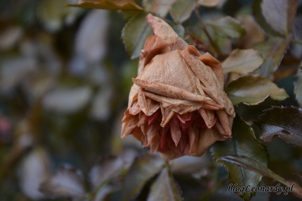 zmarznięta róża