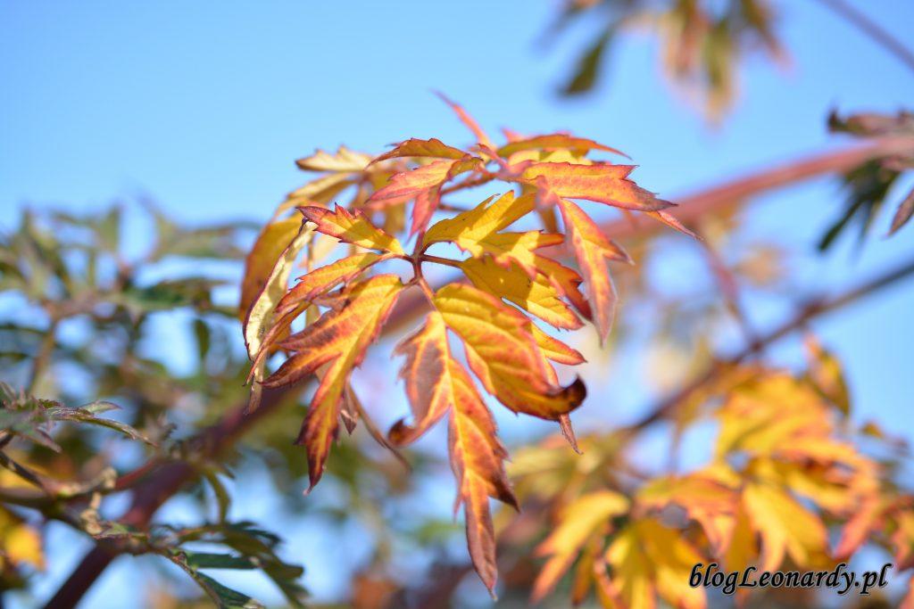 jeżyna bezkolcowa liść