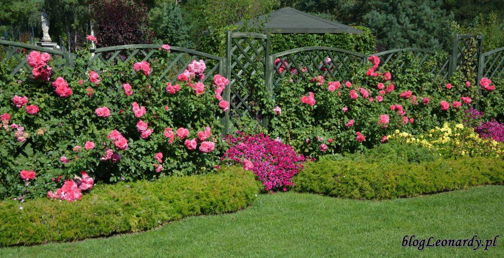 róże w Licheniu
