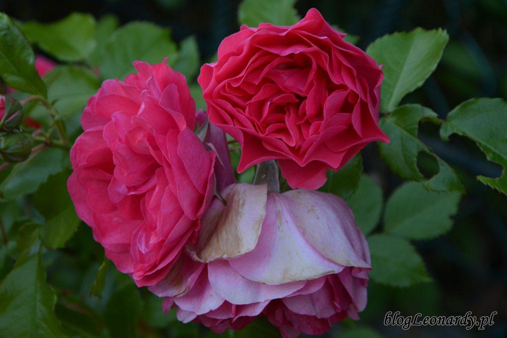 rosarium uetetsen 1