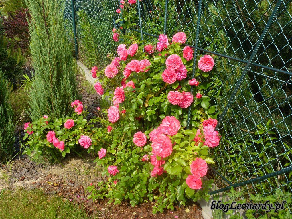 rosarium uetetsen 2014 (3)