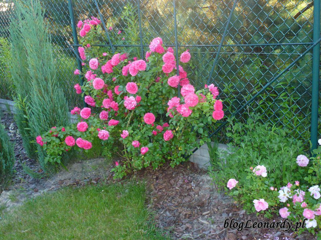 rosarium uetetsen 2014 (6)