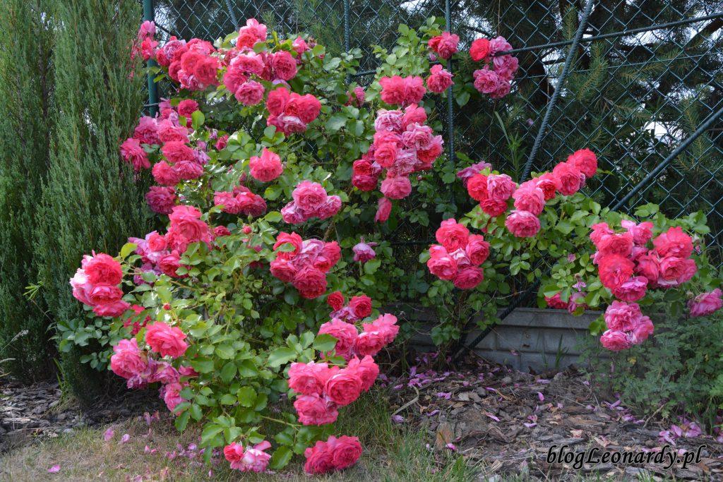 rosarium uetetsen 4