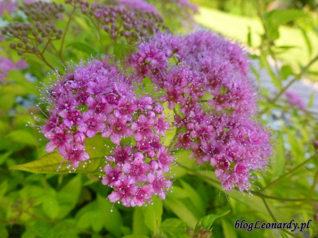kwiat tawuły (2)