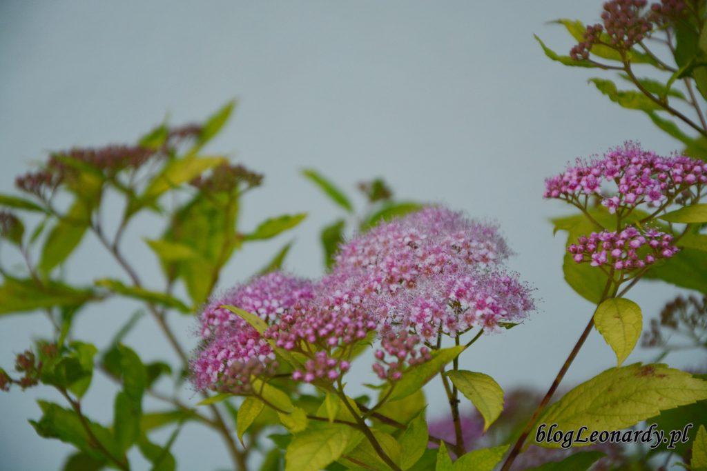 kwiaty tawuł