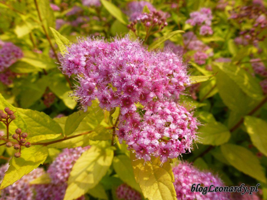 kwiaty tawuł (2)