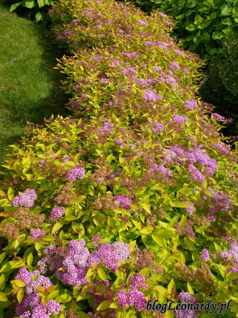 kwitnące tawuły (3)