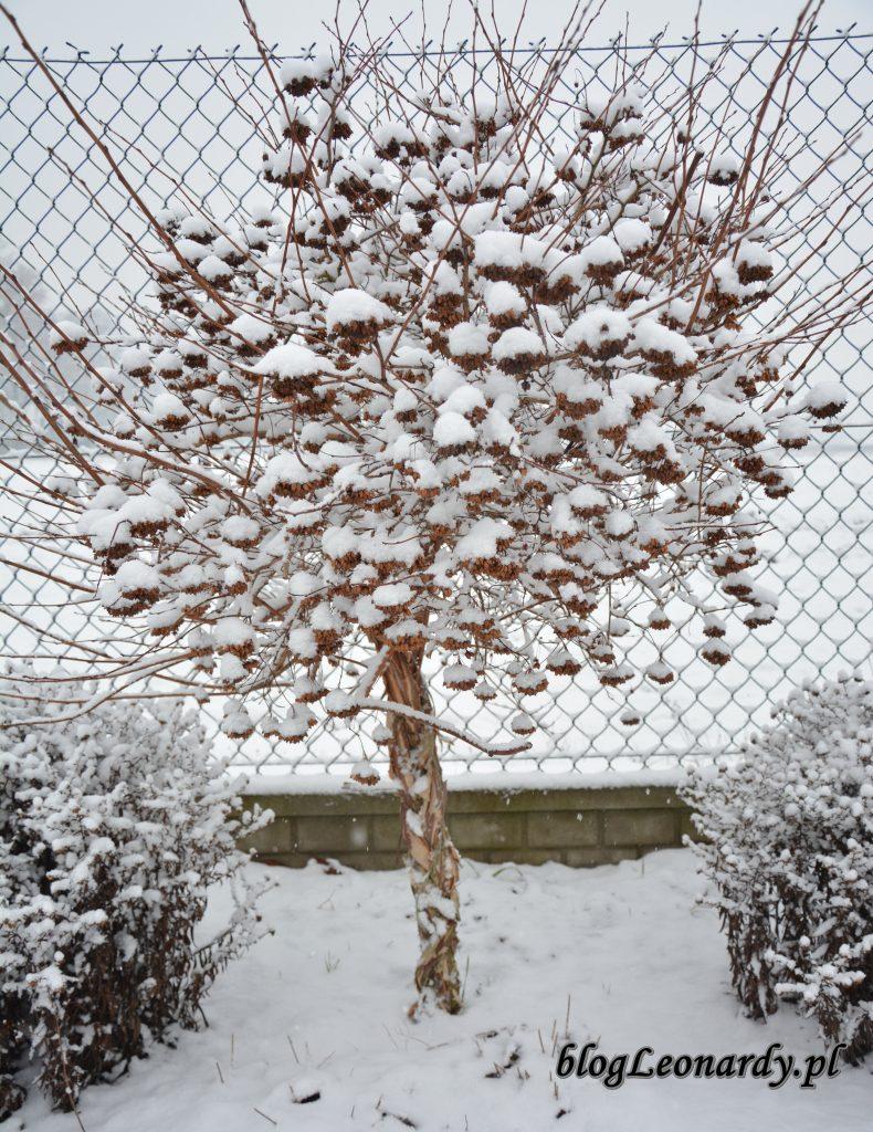 pęcherznica na pniu zimowy ogród