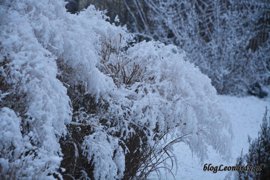 proso rózgowate zimą