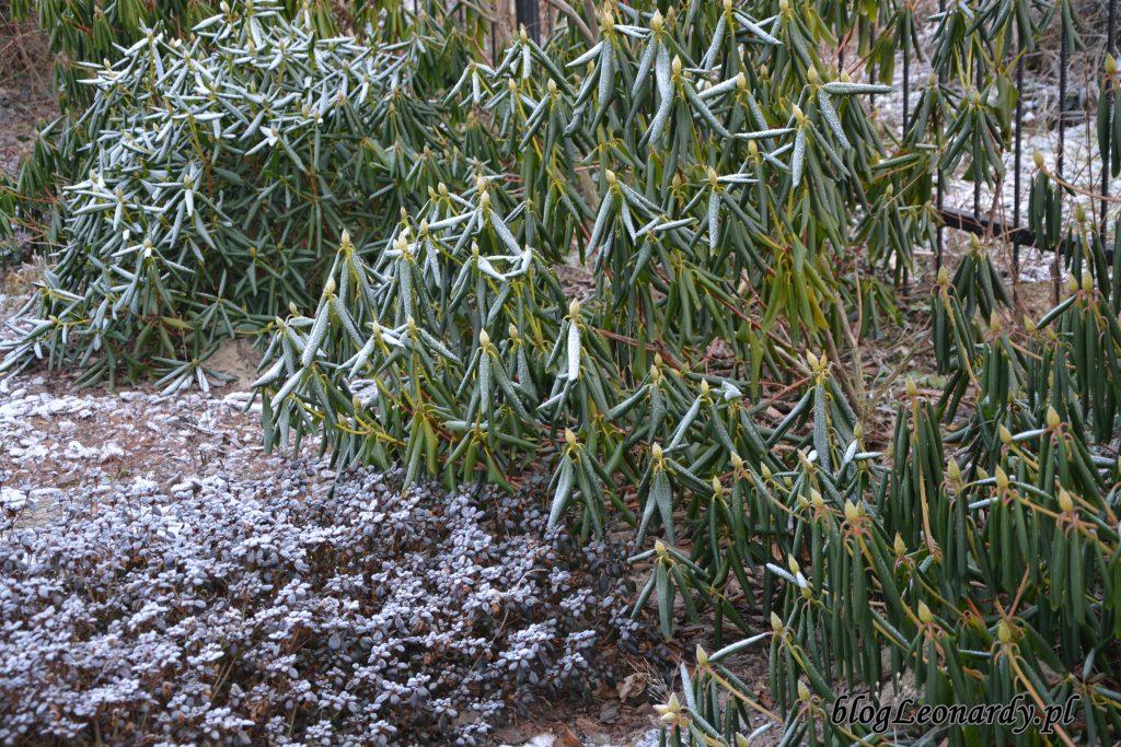 rododendrony zimą