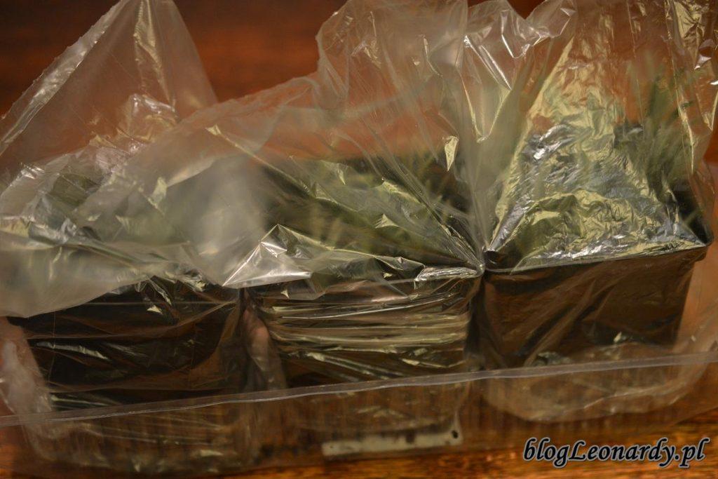 przykryte doniczki z sadzonkami lawendy