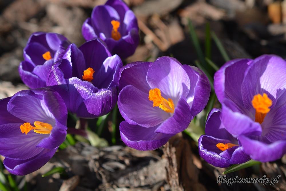 wiosna krokusy 2