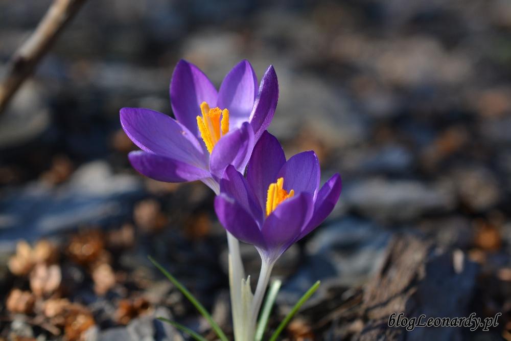 wiosna krokusy 4
