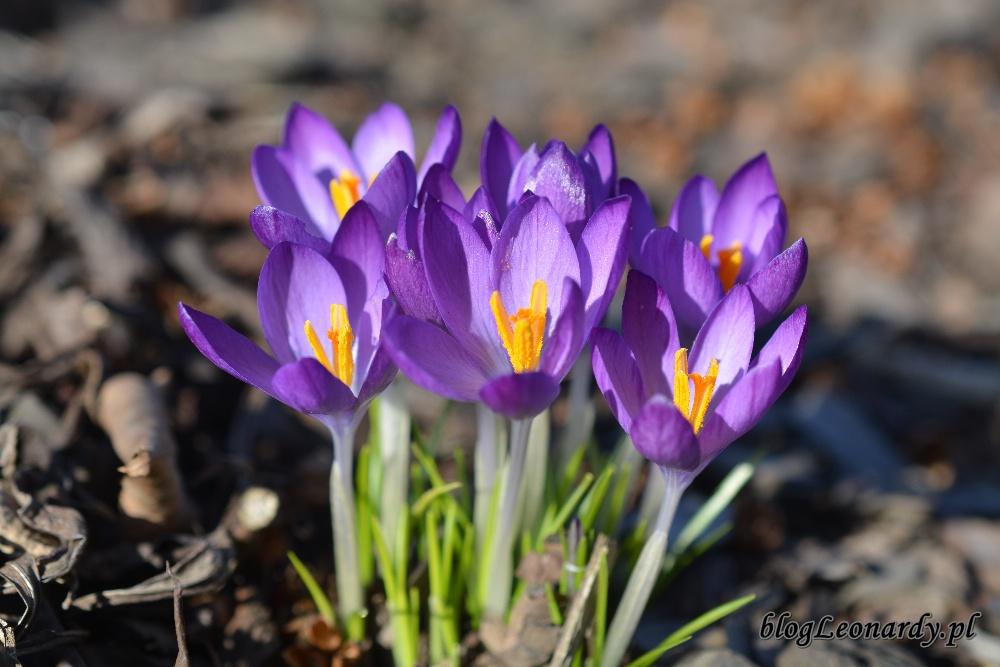 wiosna krokusy 5
