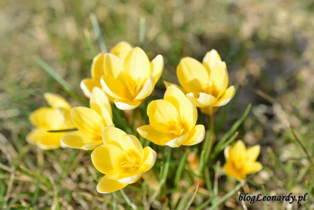 wiosna krokusy 8