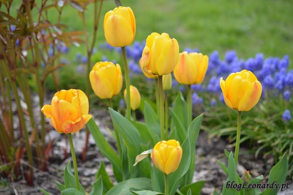tydzień w ogrodzie -żółte tulipany 1