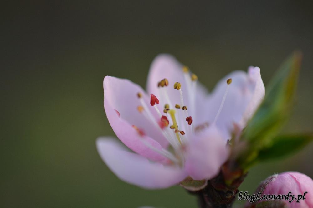 tydzień w ogrodzie -brzoskwinia