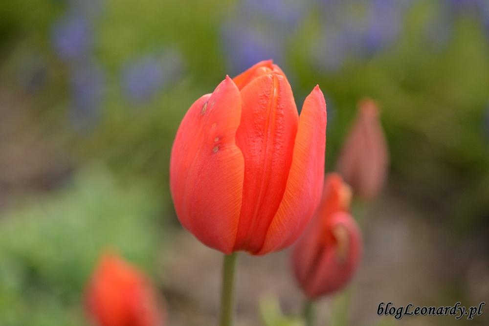 tydzień w ogrodzie -czerwony tulipan