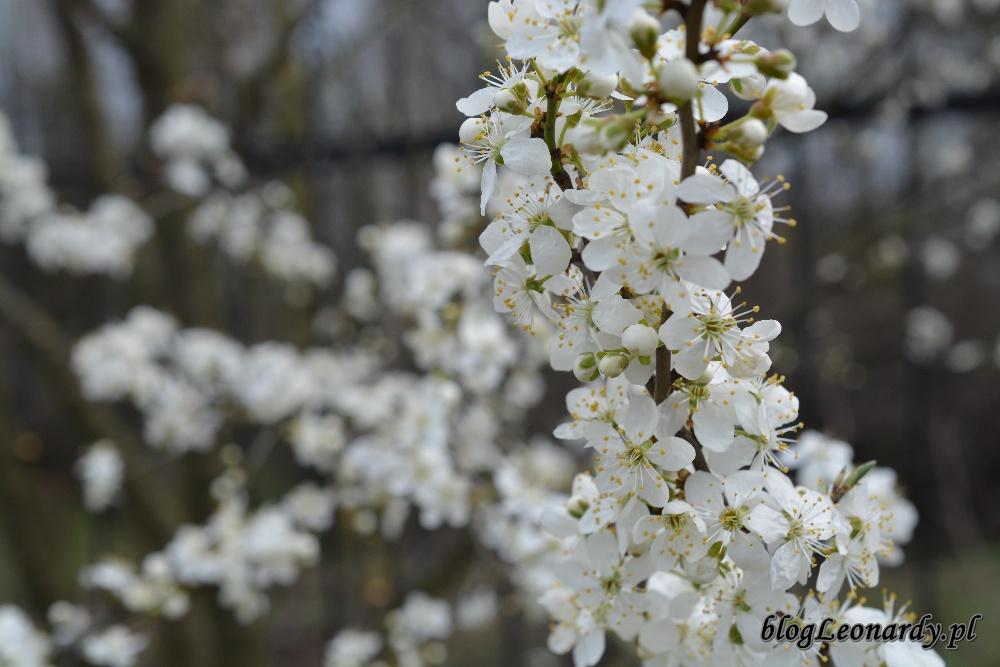 tydzień w ogrodzie -mirabelka (2)